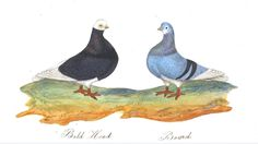 Animal - Bird - Pigeons, drawing