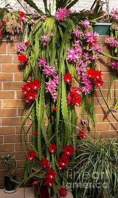 Title  Christmas Cactus   Artist  Steven Ralser   Medium  Photograph - Photography