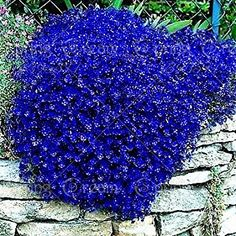 100pcs/bag Creeping Thyme Seeds or Blue Rock Cress Seeds Perennial Ground cover flower, Natural growth for home garden 10: Amazon.ca: Patio, Lawn & Garden