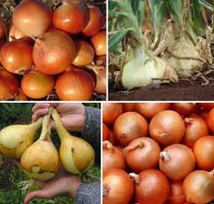 Onion, Fruit, Vegetables, Gardening, Horticulture, Tomatoes, Plant, Onions, Lawn And Garden
