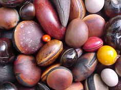 "WHAT IS A SEA BEAN?  Sea-beans (or ""drift seeds"") are tropical seeds and fruits carried to the ocean by freshwater streams and rivers that drift with the currents and eventually wash ashore. The colors, textures and shapes and sizes of sea beans are truly remarkable. To learn more, refer to http://www.seabean.com/newsletters/"