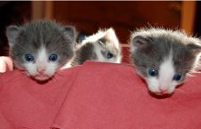 Baby kittens with blue eyes.PNG