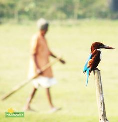 White-throated Kingfisher Feature Photography - Stray Feathers (Birds) Photo Credits: Raja Saha  http://www.dreamwanderlust.com/stray-feathers.php