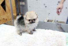 Teacup Pomeranian | Tiny teacup pomeranian puppy