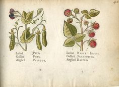 Two representations of plants: pea (with pods and flowers) on the left, raspberry on the right. 1586 Hand-coloured woodcut