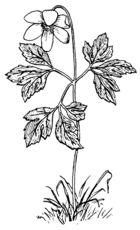 92 Best Anemone and Ranunculus (Ranunculaceae) images