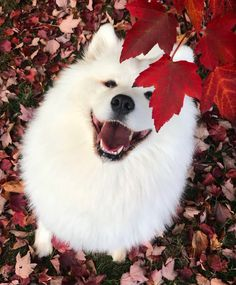 Dog Wallpaper, Dog Wallpaper for iPhone, Dogs Wallpaper, Lovely Fluffy Dog Cute Puppies, Cute Dogs, Dogs And Puppies, Doggies, Big Dogs, Cute Funny Animals, Cute Baby Animals, Beautiful Dogs, Animals Beautiful