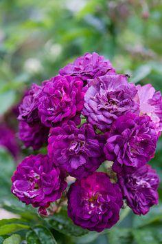 'Bleu Magenta' roses