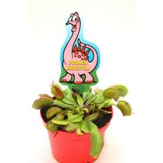 Find Venus Fly Trap (Multiple Options Available) at Homebase. Fly Traps, Xmas Presents, Indoor Plants, House Plants, Venus, Outdoor Gardens, Planter Pots, Exotic, Make It Yourself
