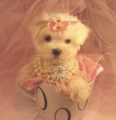 Teacup Maltese, Teacup Maltese dogs if someone gets me one of these It would be very much appreciated!!!