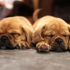 I love Puggles they are so adorable!  This what mine looks like most of the day LOL! So cute