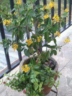 En mi balcon Lluvia de oro-Aptenia y bien escondida Trebol Morado-Oxalis. F071215