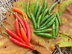 Korean Dark Green Pepper | Baker Creek Heirloom Seed Co