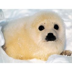 Frankie Fluffles-the overly cute baby seal