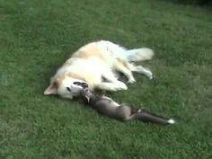 Raposa invade quintal, mas não sabia que tinha um cachorro ali...