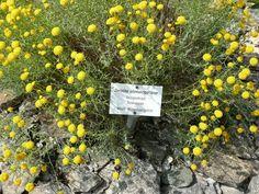 Santolina chamaecyparissus / Heiligenkraut