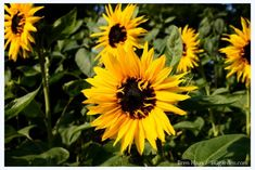 Explore growing sunflowers, including tips for planting sunflowers, from the experts at HGTV. Learn how to grow sunflowers. Planting For Kids, Plants, Sunflower Garden, Garden Shrubs, Easy Plants, Trees To Plant, Planting Sunflowers, Hgtv Garden, Indoor Flowering Plants