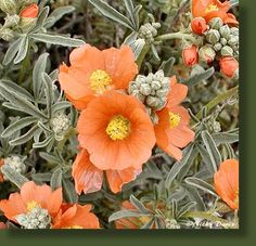 Scarlet Globemallow, a Utah native, volunteered in our garden. It has beautiful orange flowers that bloom all summer. A keeper I will encourage to spread throughout my garden beds as an easy, well behaved groundcover.