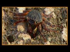 ▶ Learn about Barnacles and Crabs - YouTube