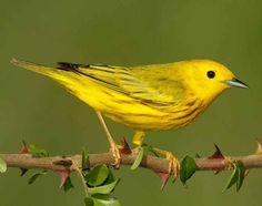 Wanna get this kind of yellow bird