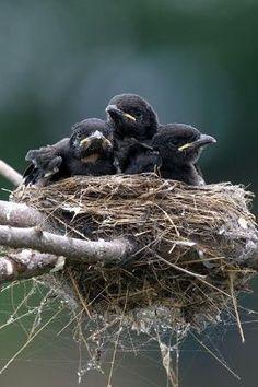 Corvid | Crow | Raven | Rook | La Corneille | Il Corvo | 烏 | El Cuervo | ворона | 乌鸦 | Baby Crows