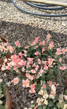 Trachelospermum Asiaticum Tricolor - Vendita Piante Online - CompraPiante by Piante Frosini
