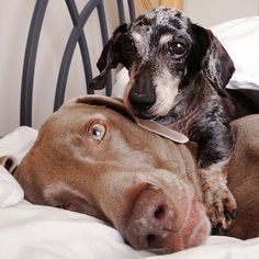 Harlow and Sage were puppy best friends until Sage passed away in September. Harlow is busy making new memories with his new friend Indiana,...