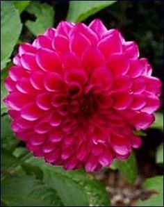 Ντάλια: Η καλλιέργεια της πριγκίπισσας του ήλιου | agrotikabook.gr New Books, Gardening, Flowers, Plants, Lawn And Garden, Plant, Royal Icing Flowers, Flower, Florals