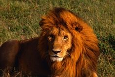 Do lions purr? Find out on wisefacts.com