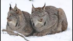 Félins : le mystérieux lynx du Canada - ZAPPING SAUVAGE