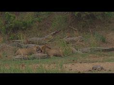 Sharing a meal! Crocodiles & Lions sharing a carcass on the banks of the...