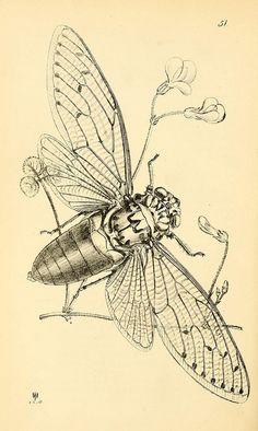 Cicada Illustration Source: BioDivLibrary