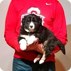 South Euclid, OH - Australian Shepherd/Border Collie Mix. Meet Champ, a puppy for adoption. http://www.adoptapet.com/pet/15010559-south-euclid-ohio-australian-shepherd-mix