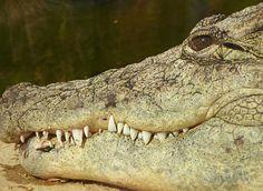 Categorie: Dieren foto's Krokodil  Prijs per kaart vanaf: € 2,65 excl. porto Wenskaart is geheel naar eigen wens aan te passen, tekst, figuur of foto. www.wenskaartenshop.droomcreaties.nl