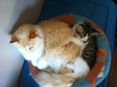 Of course they both fit. Ragamuffin Cat, Cats And Kittens, Fit, Animals, Animales, Animaux, Animais, Ragamuffin, Cats