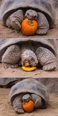 I want a tortoise for our boys so bad! tortoise proves you're never too old to celebrate Halloween. Sulcata Tortoise, Tortoise Care, Tortoise Turtle, Tortoise House, Tortoise Food, Giant Tortoise, Animals And Pets, Cute Animals, Turtle Time
