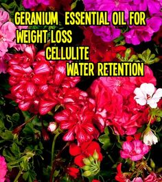 * How Does Geranium Essential Oil Work   Geranium oil is one of the most effective essential oils for skin concerns as well as health issues. Once again, na