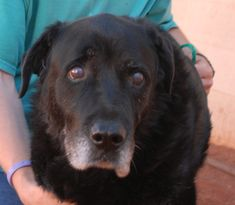 Buddha, 12, a most gentle soul, yearns for a compassionate home for his twilight years.  Please help find him a hero.  Buddha is a Labrador Retriever and he is good with other dogs and neutered, and ready for adoption at Nevada SPCA (www.nevadaspca.org).  He likes going for short, leisurely walks.  Buddha has stiff back legs and diminished vision in his left eye, but he appears to have good overall health.  We rescued this angel from another shelter.
