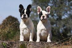 Buldog francese, French Bulldog Puppies #Buldog