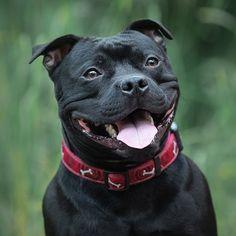 Staffordshire Bull Terrier, Bull Terrier Dog, Mountain Dogs, Bernese Mountain, Pit Dog, Training Tips, Dog Training, Labrador Retriever Dog, Blue Pits