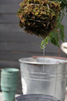 Watering Kokedama Plant 2