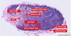 Histology Lymph Node