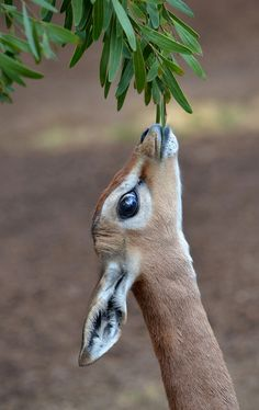 A baby Gerenuk reaches for a snack