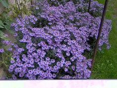 Settembrini, fiori autunnali che fioriscono in Settembre