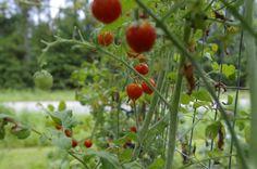Husky Cherry Tomatoes