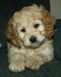 Another cockapoo because LOOK AT THAT FACE
