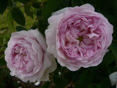 Rose de Schelfhaut