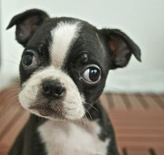 Boston Terrier puppy - Click image to find more Science & Nature Pinterest pins