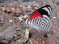 Anna's Eighty-eight butterfly - Diaethria a. anna -