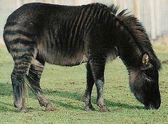 Zony - cross between Zebra and Shetland Pony